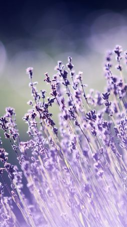 lavender, flowers, 5k (vertical)