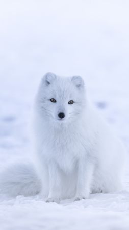 arctic fox, cute animals, winter, snow, white, 8k (vertical)
