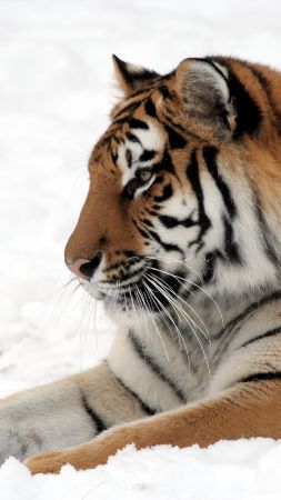 tiger, cute animals, snow, winter, 4k (vertical)