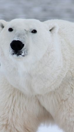 polar bear, cute animals, 4k (vertical)
