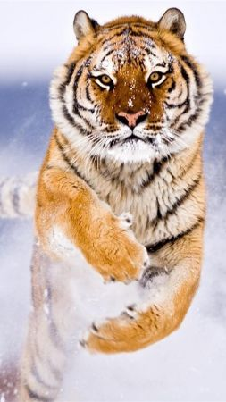 tiger, cute animals, snow, winter, 8k (vertical)
