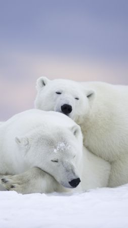 polar bears, cute animals, winter, 5k (vertical)