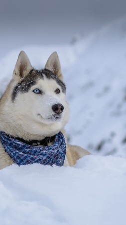 dog, husky, cute animals, snow, winter, 5k (vertical)