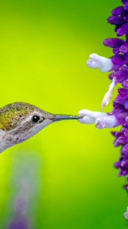Hummingbird, bird, flower, 5k (vertical)