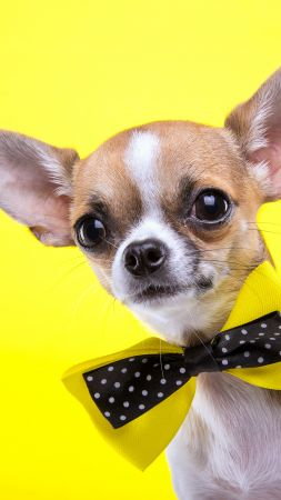 Chihuahua, dog, cute animals, yellow, 5k (vertical)