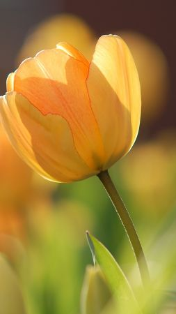 flowers, tulips, yellow, spring, HD (vertical)