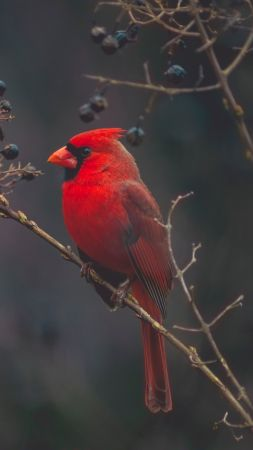 Cardinal, Red bird, bird, 4K (vertical)