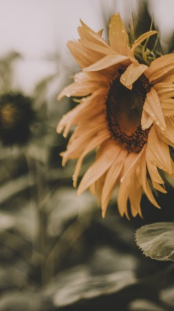 Sunflower, yellow, 5K (vertical)