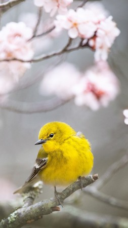 Pine Warbler, bird, yellow, 4K (vertical)