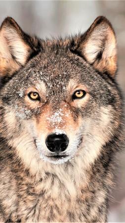 Wolf Grey 4K Vertical
