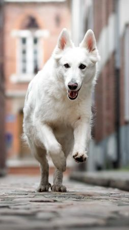 Berger Blanc Suisse, dog, white, 4K (vertical)