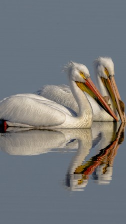 Pelican, bird, reflection, 4K (vertical)
