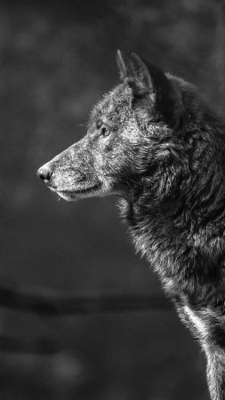 Wolf, black, 4K (vertical)