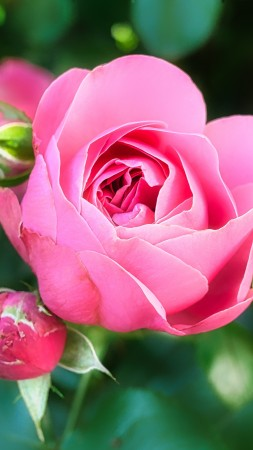 Rose, pink, flower, 5K (vertical)