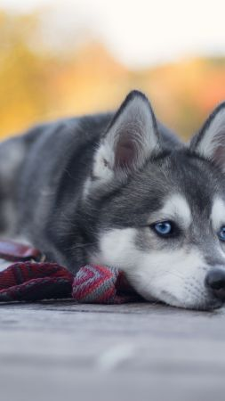 Husky, dog, cute animals, 4K (vertical)
