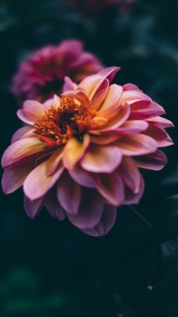 flower, pink, purple, 4K (vertical)