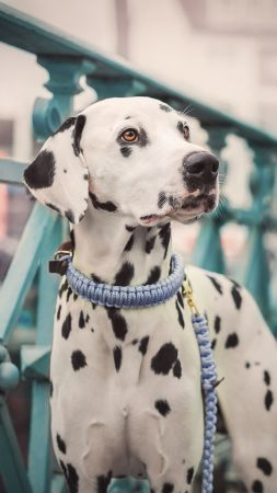 Dalmatian, dog, cute animals, 5K (vertical)