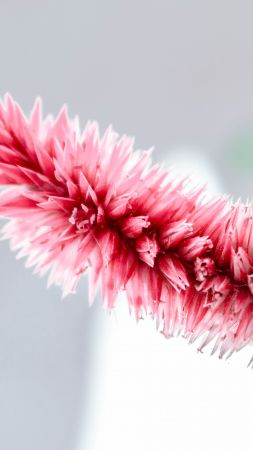 pink, white, flower, 5K (vertical)
