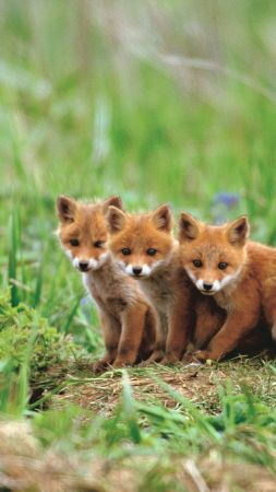 fox, cute animals, red, 5K (vertical)