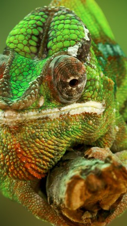 Chameleon, color change, lizard, Veiled chameleon, Panther chameleon, Jackson's chameleon, macro photo (vertical)