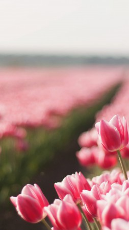 Tulip, spring, flower, field