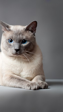Thai cat, blue eyes, animal (vertical)