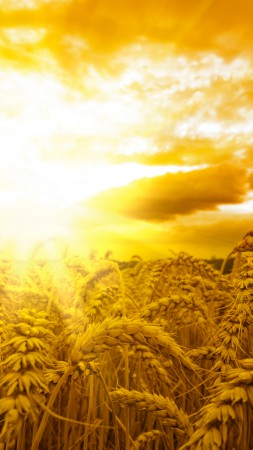 Ears, wheat, sun, sky, yellow