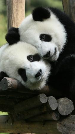 Panda, Giant Panda Zoo, China, Cute animals (vertical)