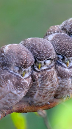 Spotted owl, owls, birds, mom, babes, Cute animals (vertical)