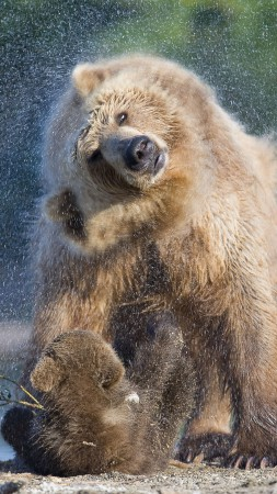 Bears, water, wash, National Geographics (vertical)