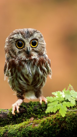 Owl, chicken, forest, eyes