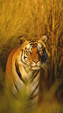 Bengal Tiger, National Geographic, tiger, hunter, predator (vertical)