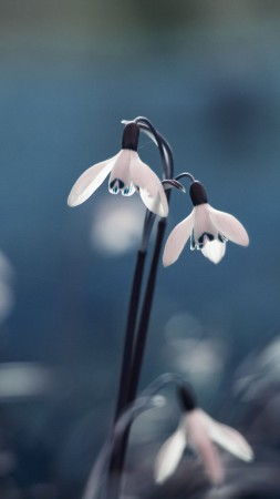 Blue Snowdrop, 5k, 4k wallpaper, flowers, spring (vertical)