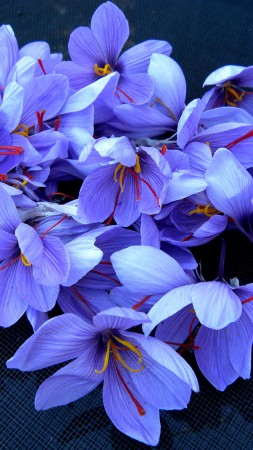 saffron, 4k, HD wallpaper, flowers, spring (vertical)