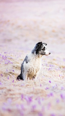 Border Collie, dog, field, cute animals, funny (vertical)