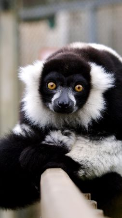 lemur, cute animals, funny (vertical)