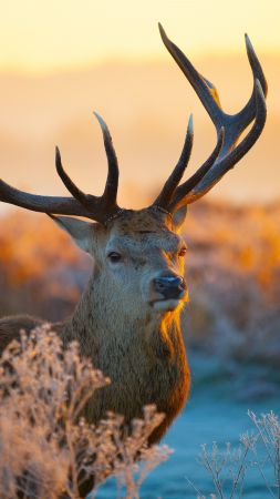 Deer, savanna, sunset, cute animals (vertical)