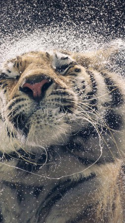 Tiger, drops, cute animals, funny (vertical)