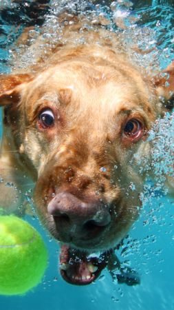Labrador, dog, underwater, cute animals, funny (vertical)