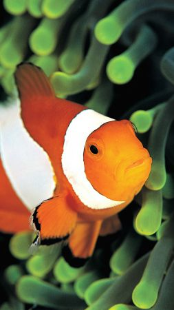 clownfish, underwater, Best Diving Sites (vertical)
