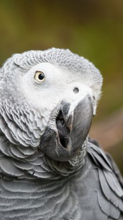 African grey parrot, cute animals, funny, blur (vertical)