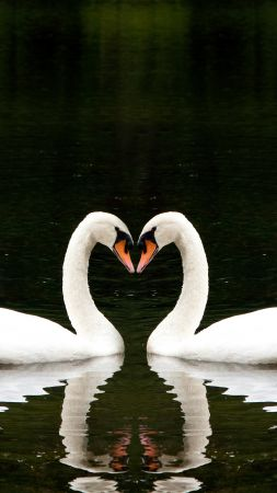 Swan, couple, lake, cute animals, love