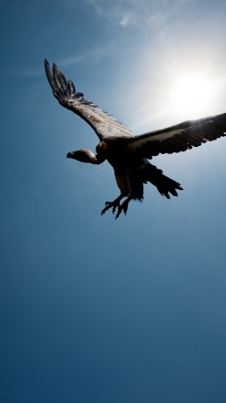Vulture, flight, sky, sun (vertical)