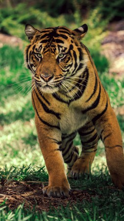 Tiger, savanna, cute animals (vertical)