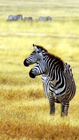 Zebra, savanna, cute animals (vertical)