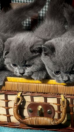 British cat, kitten, cute animals, funny, basket (vertical)