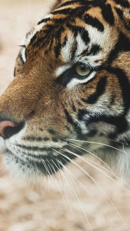 Tiger, savanna, look, cute animals (vertical)