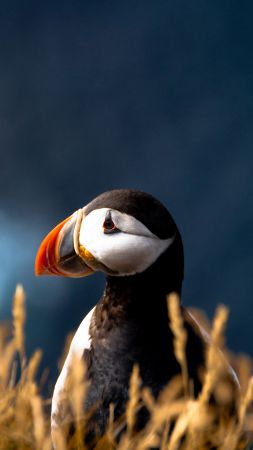 Puffin, cute animals, meadow (vertical)
