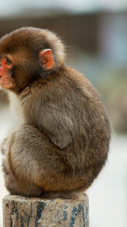 Macaque, monkey, cute animals, funny (vertical)