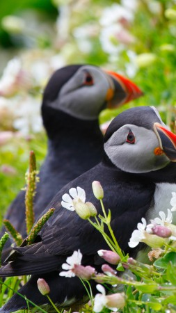 Puffin, couple, wildflowers (vertical)